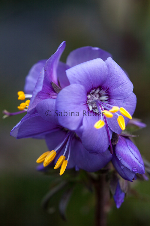 Polemonium yezoense var. hidakanum 'Purple Rain' - Japanese Jacob's ladder