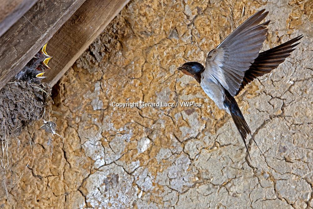 Barn Swallow, hirundo rustica, Adult in Flight, Feeding Chicks at Nest, Normandy