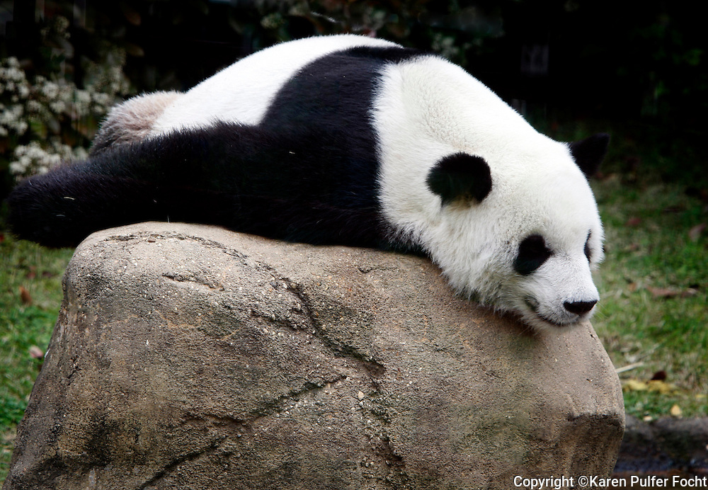 Le Le rests while on exhibit at the Memphis Zoo. A recent Panda poop study provides insights into microbiome, reproductive troubles of the Giant Panda, according to the University of Wisconsin-Madison.  Researchers at UW-Madison, Mississippi State University and the Memphis Zoo  have been studying Le Le and his female zoo mate, Ya Ya,  looking for answers and data. (Report published by Science Codex http://www.sciencecodex.com/panda_poop_study_provides_insights_into_microbiome_reproductive_troubles-182641)