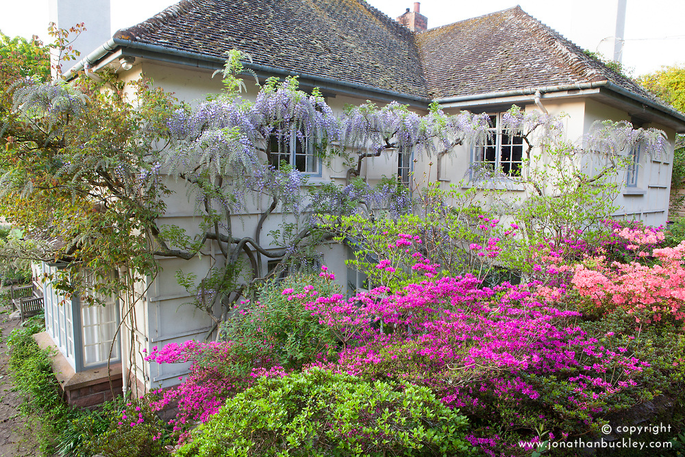 Azaleas and wisteria by the house at Greencombe Gardens, Somerset
