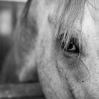 USA, New Mexico, Albuquerque, Close-up of thoroughbred horse in paddocks after race at The Downs at Albuquerque race track