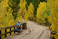 Woman walks with Australian Shepherd dogs in San Juan National Forest, Colorado, <br /> MODEL RELEASED, <br /> PROPERTY RELEASED