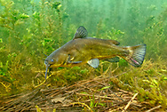 Black Bullhead <br />