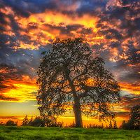 Oak tree in a grassy field at sunset, Sacramento County, California.