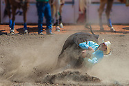 Cowboy steer wrestling at the Calgary Stampede