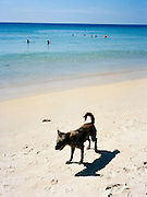 Thai beach dog enjoys the sun on Karon Beach