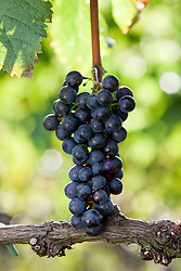 Cachod e uva merlot.  Utilizada para a elaboracao de vinho tinto para ser consumido jovem./ Bunch of Merlot, a red wine grape that is used as both a blending grape and for varietal wines.Ano /Year 2010