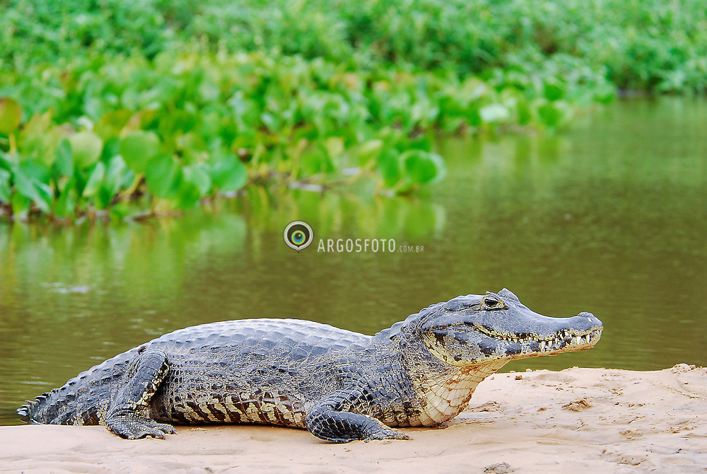 Jacare-do-pantanal. Pantanal, Mato Grosso - Porto Cercado, proximo a Cuiaba. Jacare-do-pantanal (Caiman yacare) eh um jacare que habita a parte central da America do Sul. Mede entre dois a tres metros de comprimento e seu padrao de coloraco eh bastante variado, sendo o dorso particularmente escuro, com faixas transversais amarelas, principalmente na regiao da cauda. / Yacare Caiman. Pantanal in Mato Grosso state. Porto Cercado city, nearby Cuiaba city. The Yacare Caiman (Caiman yacare) is a species of caiman found in central South America. As a medium-small sized crocodilian, most adult individuals grow to roughly 2 or 2.5 meters in length.