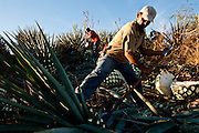 A jimador uses a a coa to harvest the heart, or pina, of the blue agaves used to make tequila.