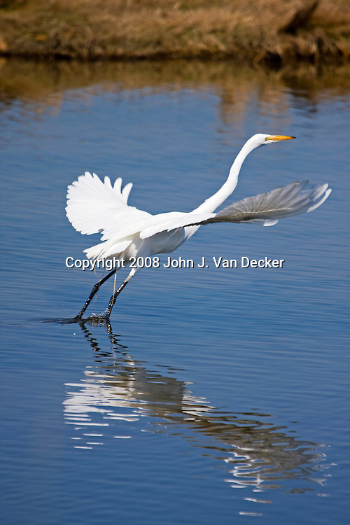 Great Egret, Ardea alba, taking off from a saltmarsh