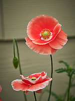 Pink and White Poppy. Image taken with a Nikon D850 camera and 200-500 mm f/5.6 VR lens.