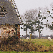 Sheep grazing on farm in remote France