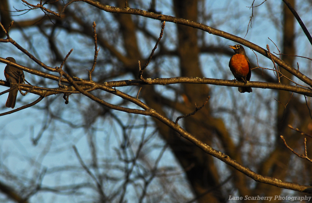 American Robins in Columbus, Ohio.