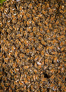 Honey bees (Apis mellifera) swarm in an apple tree in urban yard in Portland, Oregon A new honey bee colony is formed when the queen bee leaves the colony with a large group of worker bees, a process called swarming. A swarm can contain thousands to tens of thousands of bees. Swarming is the natural means of reproduction of honey bee colonies. © Michael Durham / www.DurmPhoto.com
