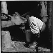 A curious goat appears while the herdsman is milking; eine neugierige Ziege schaut beim Melken zu, une chèvre curieuse lorgne pendant la traîte