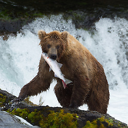 A brown bear with a freshly caught salmon.