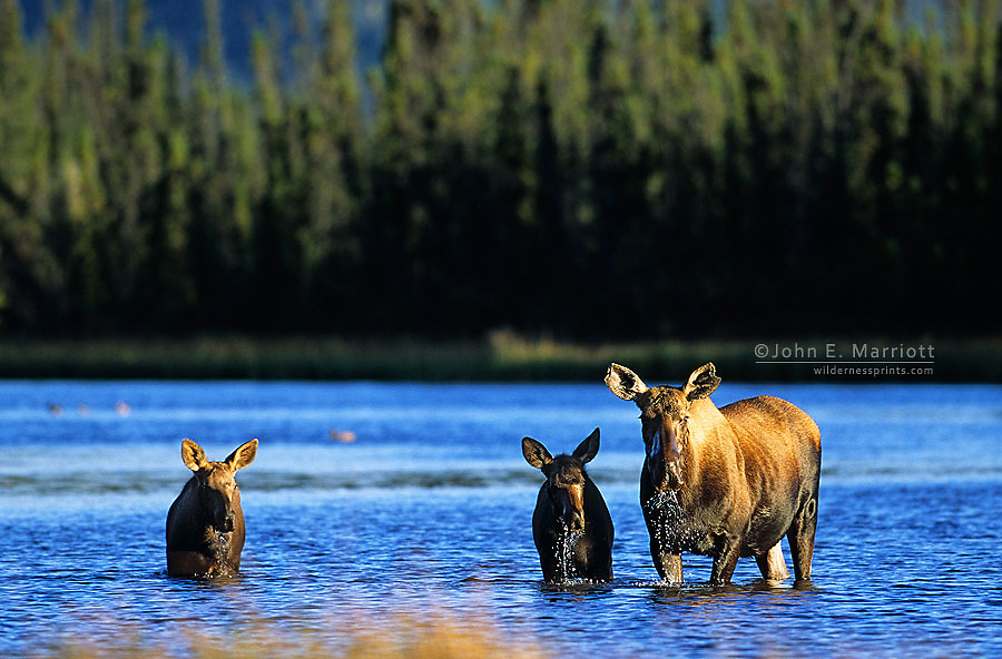 Cow moose and calves in a northern pond