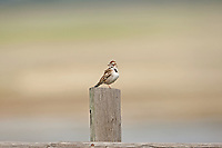 A Lark Sparrow perched on a fence post this bird has been flying back and forth from its nest that is in the field next to the fence.