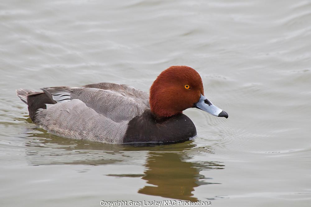 Redhead<br /> Aythya americana<br /> male<br /> Rockport,<br /> Aransas Co., Texas<br /> 7 February 2013