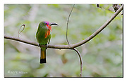 Red-bearded Bee-eater from Sepilok canopy, Sabah, Borneo.  Nikon D4, 200-400mm @ 400mm, f4, EV+1, 1/160sec, ISO800, Aperture priority