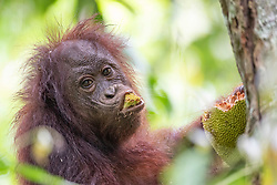 A young orangutan (orang-outan) eats jackfruit near the Gomantong caves, on August 5, 2019 near Sandakan city, State of Sabah, North of Borneo Island, Malaysia. Palm oil plantations are cutting down primary and secondary forests vital as habitat for wildlife including the critically endangered Bornean and Sumatran orangutans. Photo by Emy/ABACAPRESS.COM