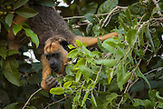 Black and gold howler monkey (Alouatta caraya)<br /> Only males of this species are black.  Females brown/gold. Juveniles vary in color.<br /> PHOTOGRAPHED IN: Pantanal. Largest contiguous wetland system in the world. Mato Grosso do Sur Province. BRAZIL.  South America<br /> RANGE: S Brazil, Paraguay, e Bolivia and n Argentina. Reaches the highest densities of any cebid species on islands in the Paraná River in Argentina.<br /> Habitat: This genus occurs in modified and undisturbed dry to rain forests, wooded savannas and gallery forests out to mangrove forests. From sea level to about 2,500 meters. They prefer canopy but descend to the understory to feed and travel on the ground if necessary. Pefer to eat fruit - with a high proportion unripe. 40% or more of mature or young leaves. They are the only monkey species able to survive on an extended diet of leaves. Tail is prehensile. Diurnal monkeys.  Very vocal with males  demarkating territory by highly vocal dawn and dusk howling.