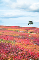 A lone pine sits on top of a hill covered with red blueberry bushes in Franklin, Maine.