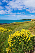 Lupine on the Otago Coast, Kakanui, Otago, South Island, New Zealand