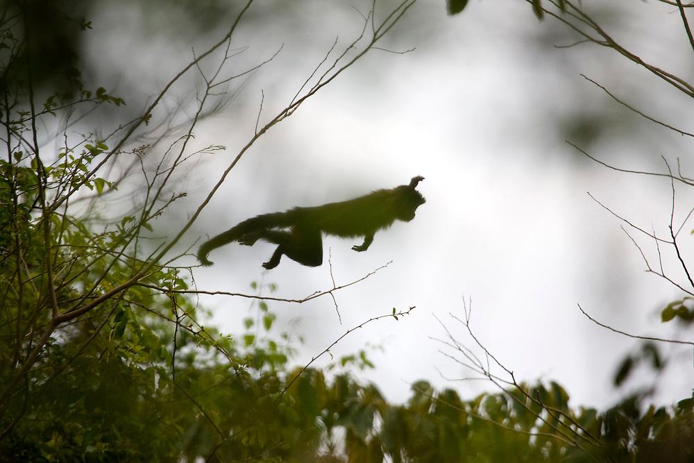 Sao Jose do Rio Preto_SP, Brasil...Programa Biota da Unesp, na foto um Macaco Bugio (Alouatta guariba) pulando no galho de uma arvore...The Biota program of Unesp, In this photo a Bugio (Alouatta guariba) monkey jumping in branch tree. . .Foto: JOAO MARCOS ROSA / NITRO