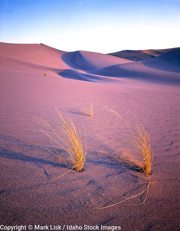 Long golden grasses whipped by warm winds on the hot sand of Bruneau Sand Dunes, Idaho.