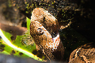 Northern Watersnake (eating a Sculpin)<br />