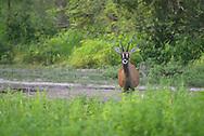 roan antelope, Hippotragus equinus, antilope rouanne, antilope cheval, hipótrago equino , 马羚, ظبي أسمر
