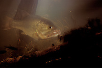 Largemouth Bass, Micropterus salmoides, underwater, fish,