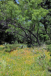 The very rural  Willow City Loop, near both Johnson City and Fredericksburg in the Hill country of central Texas, fills with a variety of wildflowers in spring. This meadow mixes a smattering of Texas Bluebonnets (Lupinus texensis) with red-orange Indian Blanket Flower (Gaillardia aristata), and yellow Brown-eyed Susans (Rudbeckia hirta, var. augustifolia).