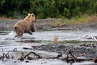 Spooked Grizzly Bear on the move..shot on the Kanektok River, Alaska, USA..