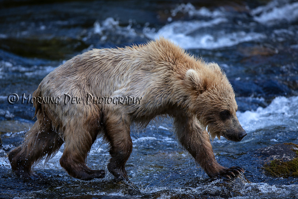 A yearling brown bear cub wades among the rocks in the Riffles along Brooks River.