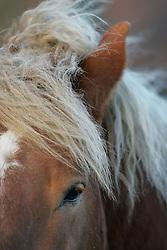 Boerenpaard<br /> Paard in de weide te Duffel<br /> Photo© Dirk Caremans