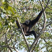 Hylobates lar, Lar Gibbon, White-handed Gibbon. Phu Khieo Wildlife Sanctuary, Thailand.