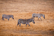 Three zebras grazing in a golden grassland  in California one with a bird on its back.