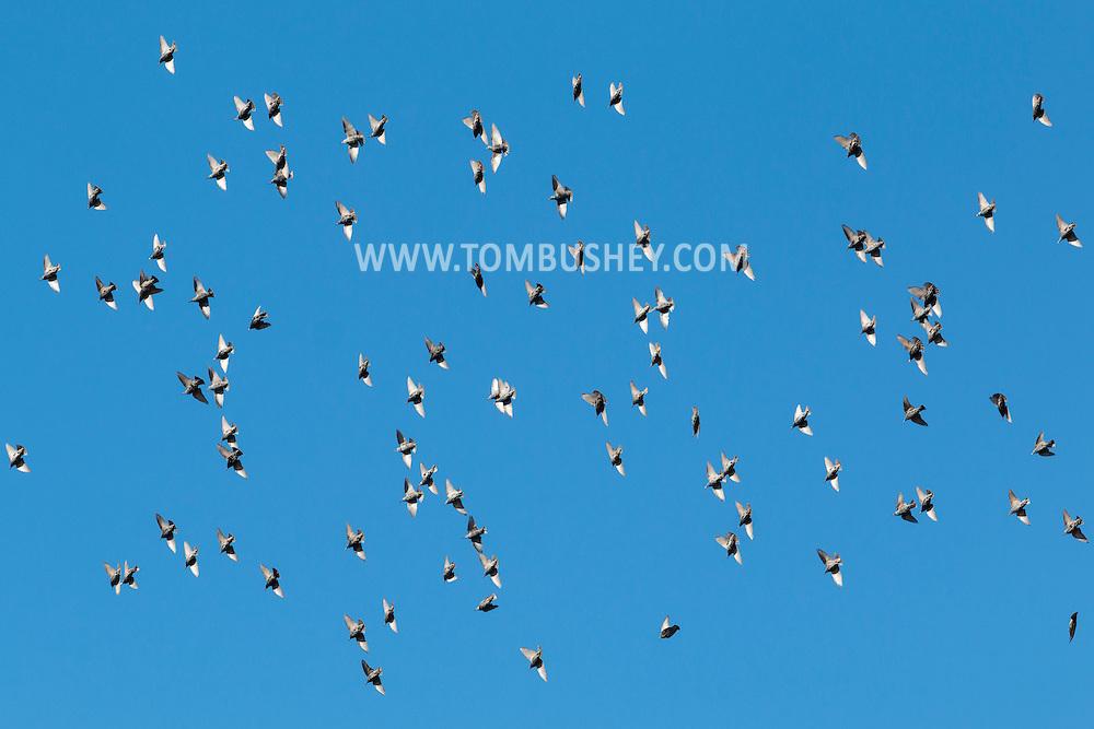 Middletown, New York - A flock of birds fly together on  Nov. 20, 2015.