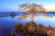 Cypress tree at sunset along Duck, NC boardwalk on the Ouer Banks.