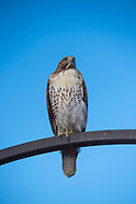 20141108 Hawk at DBG