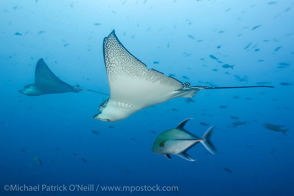 Spotted Pacific Eagle Ray, Aetobatus narinari, and Black Jack, Caranx lugubris, swim past the rocky dropoff in Wolf Island, Galapagos, Ecuador.