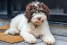 Spencer - The Cutest Little Lagotto