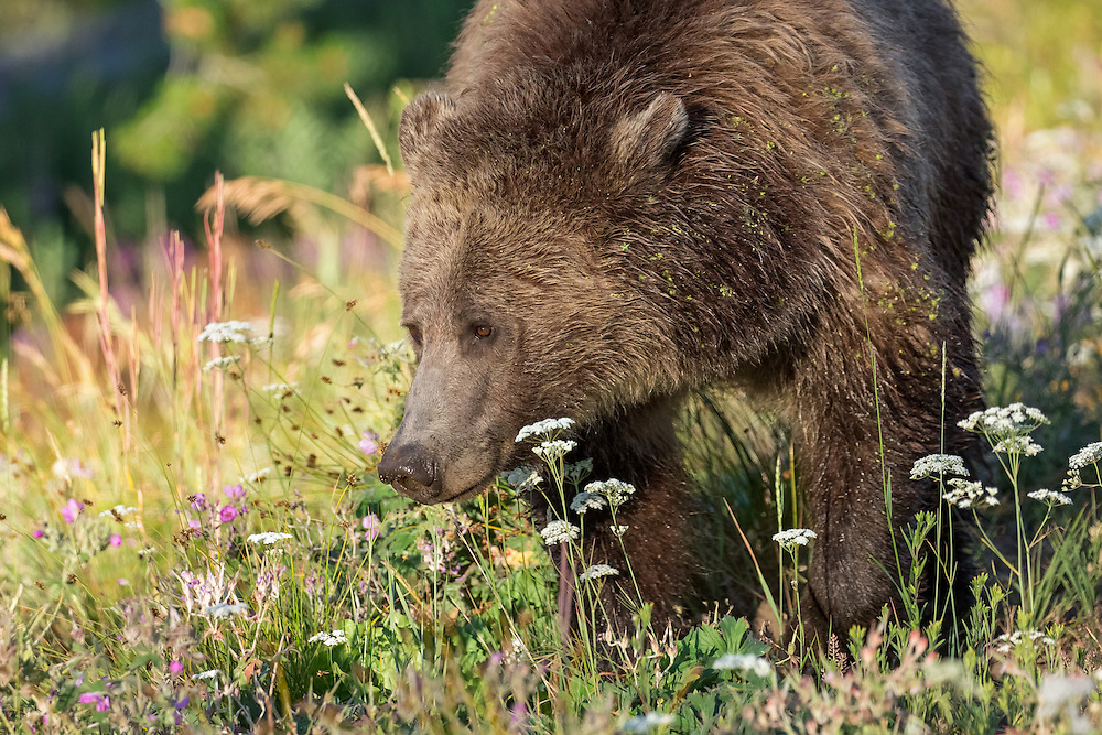 The female grizzly, known as Raspberry, can often be spotted around Yellowstone Lake. During mid-summer, she spends most of her time foraging in lush meadows where she dines on cow parsnip, clover and biscuitroot.