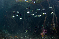 Banded Archerfishes among Mangrove Roots.