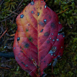 Fallen Leaf, Stuart Island, San Juan Islands, Washington, US