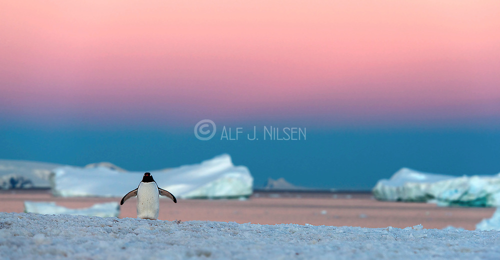 Lonely gentoo penguin at Georges Point, Ronge Island, late in the evening in the Antarctic Spring