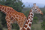 Giraffes at the Sweetwater Reserve.