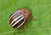 False Potato Beetle; Leptinotarsa juncta; PA, Ambler; Gwynedd Wildlife Preserve;